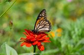 image of monarch butterfly  - Monarch butterfly is a milkweed butterfly in the family Nymphalidae - JPG