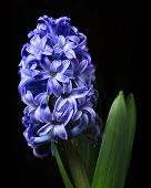 Blue hyacinth isolated on black background