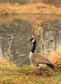 Canadian Goose standing on the edge of the water.