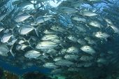 School of Bigeye Trevally Fish