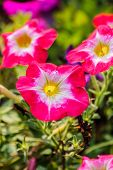 Beautiful Flowerbed With Bright Pink Petunia