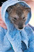 Grey Wolf (canis Lupus) Pup Not Enjoying Post Bath Rubdown