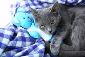 Cat with toy bear on purple blanket closeup