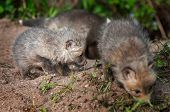 Red Fox Kit (vulpes Vulpes) Digs While Siblings Mill About