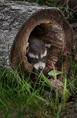 Baby Raccoon (procyon Lotor) Pokes Head Out Of Fallen Tree