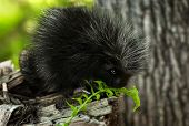 Baby Porcupine (erethizon Dorsatum) Sniffs At Fern