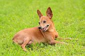 Miniature Pinscher In The Green
