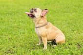 French Bulldog Sit On The Green