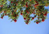 Bunch of red rowan berries in blue sky