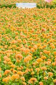 foto of celosia  - Celosia or Wool flowers or Cockscomb flower in the garden or nature park - JPG