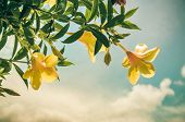 picture of trumpet flower  - Golden Trumpet flower or Allamanda cathartica in the garden or nature park vintage - JPG