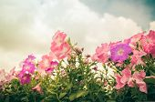 foto of petunia  - Petunia or Petunia Hybrida Vilm in the garden or nature park vintage - JPG