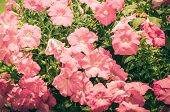 stock photo of petunia  - Petunia or Petunia Hybrida Vilm in the garden or nature park vintage - JPG