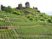 Vineyards Under Metternich Castle In Moselle