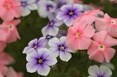 Pale Pink And Purple Flowers