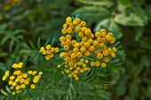 Summer. Flowers Of Tansy.