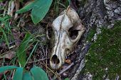 Old Skull Of A Predator.