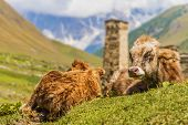 close up of cows in Ushguli that consists of four small villages located at the foot of Mt. Shkhara