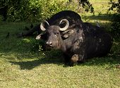 Water Buffalo In A National Park
