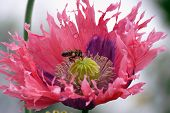 A Bee Collects Nectar From Terry Poppy