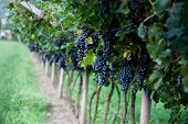 Red Wine Grapes On A Vine Vines On Lake Garda