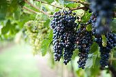 stock photo of grape  - Red Wine Grapes on a vine vines on Lake Garda in Italy - JPG
