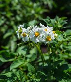 Potato Bush Blooming With White Flower