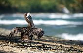 Pelican drying feathers