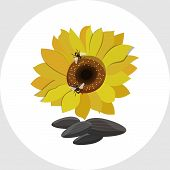 image of sunflower  - Yellow Sunflowers and Sunflower Seeds  vector illustration in flat style - JPG