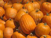 Freshly Picked Pumpkins