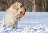 Yellow Labrador In Winter With A Toy Portrait