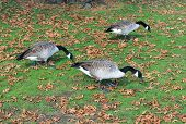 Three Canadian Geese Grazing On A Park Lawn