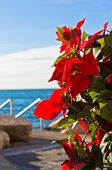 Decorative red flowers and blue sea at Piran harbor, Istria