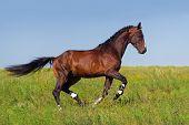 Stallion run in the meadow