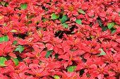 Bright Red Poinsettia