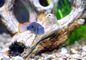 pic of dwarf  - Aquarium Fish dwarf Cichlid in a water - JPG