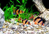 pic of shoal fish  - Shoal of aquarium fish - JPG