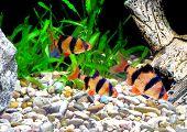 image of shoal fish  - Shoal of aquarium fish - JPG