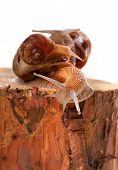 Three Snails On Pine-tree Stump