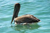Mar Brown Pelican