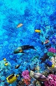 picture of shoal fish  - Coral and fish in the Red Sea - JPG