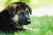 Face Of German Shepherd Puppy