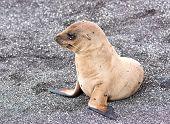 A Baby Galapagos Sea Lion