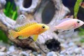 image of dwarf  - Aquarium Fish dwarf Cichlid - JPG