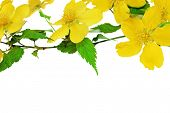 pic of cruciferous  - Kerria Japonica Yellow wildflowers isolated on white background - JPG