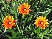 Ramat Gan Park Orange Gazania