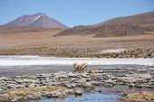 Landscape in Andes of Bolivia with lagoon and Vicunas