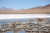 Vicugnas in Altiplano, Andes in Bolivia