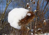 thistle covered with snow