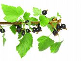 Black Currant On Branch With Green Leaf.